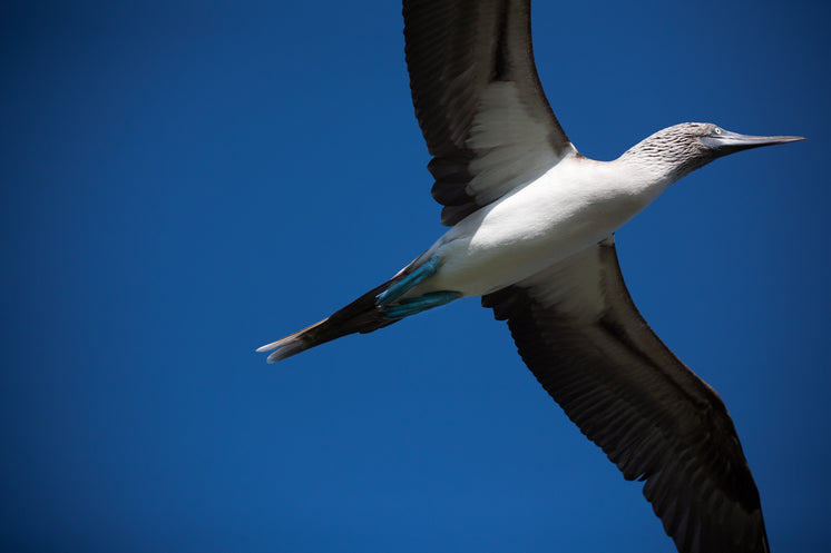 Flying Blue Footed Booby