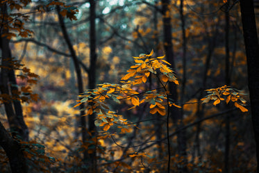 forest leaves changing in fall