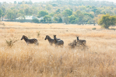 four zebras stand in a brown grassy field