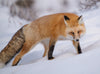 fox looks at the camera while standing in white snow