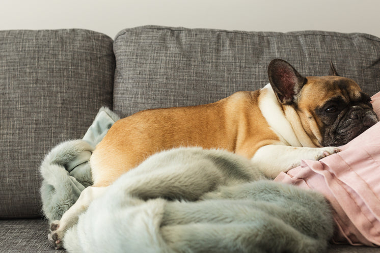 French Bulldog Gets Cozy