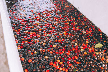 fresh coffee beans in water