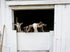 friendly goats look through barn window