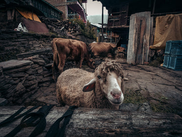 friendly sheep and cows in a rustic setting
