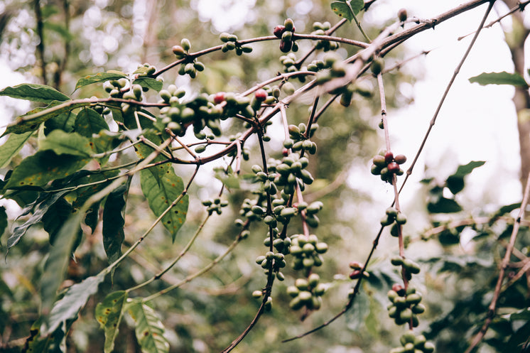 Fruit Hanging From Tropical Branches