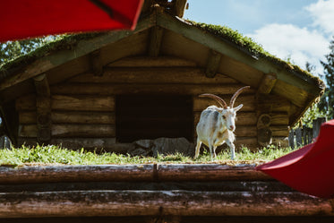 Free Stock Photo of Goat On The Roof — HD Images