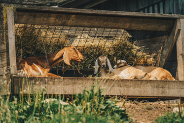 High Res Goats In The Shade Picture — Free Images
