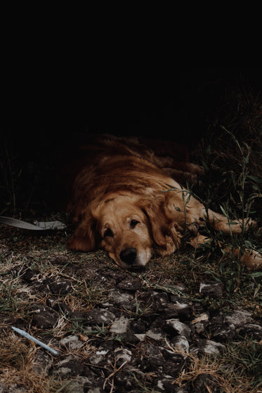 golden dog in the shade
