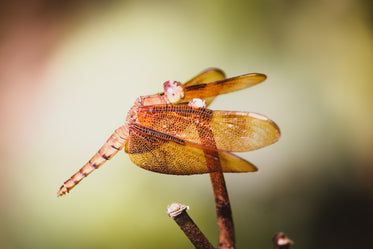 golden dragonfly perched on tip of branch