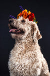 goldendoodle wearing flowers