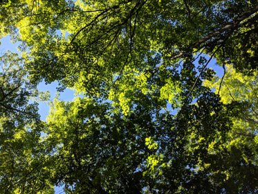 green leafy forest canopy