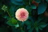 green leaves and stems surround a pink dahlia