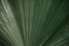 green palm leaves spread like a peacock's plume