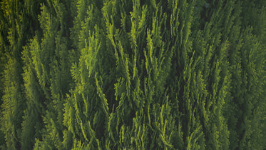 green cedar boughs highlighted by sunlight