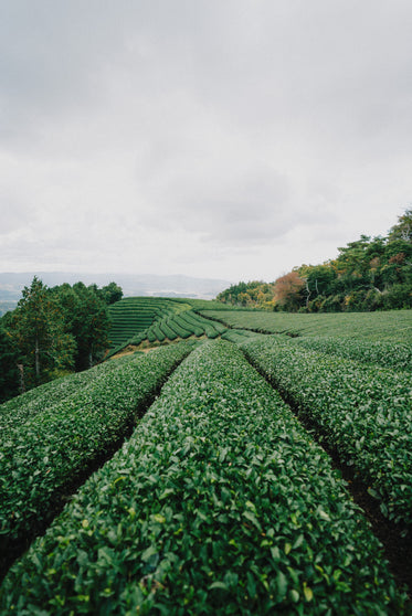 green plants grow in lines on rolling hills