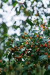 green tree with small orange fruit on branches