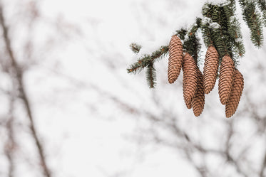 Free Group Of Pinecones On Branch Image: Browse 1000s of Pics