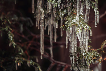 groups of icicles hang from a trees branches