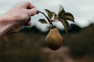 hand holding pear still on the branch