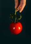 hand holds a wet tomato by the stem