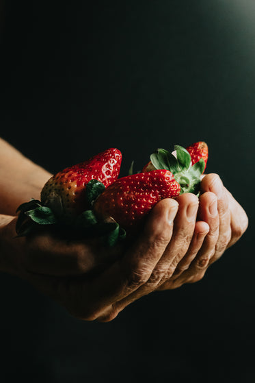 hands cup ripe red strawberries on black background