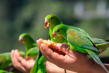 hands holding feed for small vibrant green birds