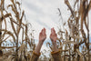 hands reaching up in cornfield