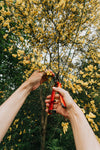 hands use pruning shears to trim floral tree branches