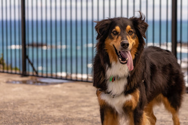 happy dog with tongue hanging out