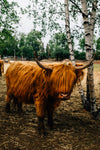 highland cow stands next to a birch tree