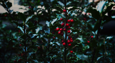 holly berry & leaves close up