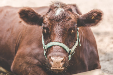 Browse Free HD Images of How Now Brown Cow