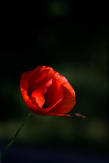insect comes in to land on a poppy