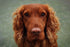 irish setter dog close up
