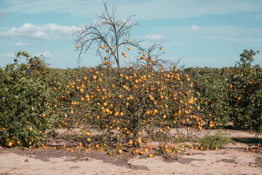 leafless orange tree drooping with fruit in florida orchard