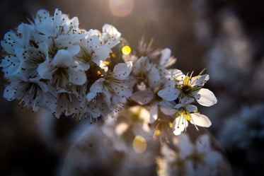 lens flare on close up of white flower