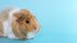 light brown guinea pig