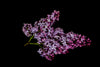 lilac flowers on a branch