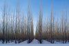 lines of trees in snow