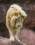 Browse Free HD Images of Lion Standing On Edge Looking Down