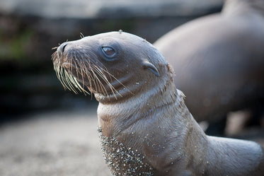 little sea lion