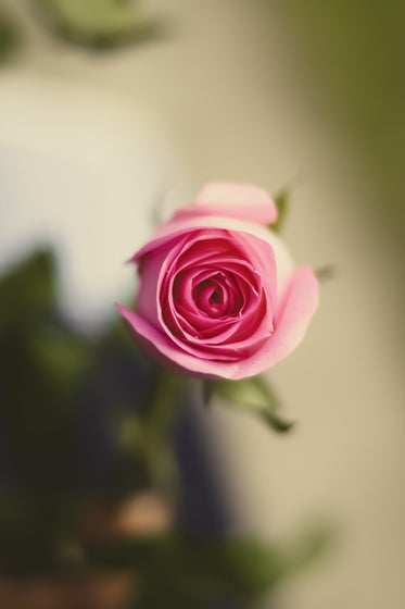 looking into the heart of a perfect pink rose
