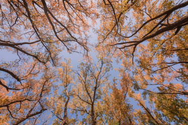 looking up at fall trees
