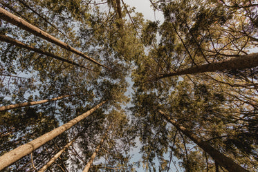 looking up at pine forest