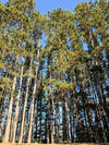 looking up at tall forest trees