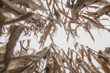 looking up in cornfield