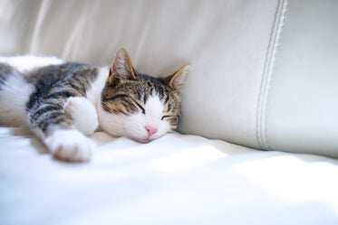 lounging brown and white tabby cat