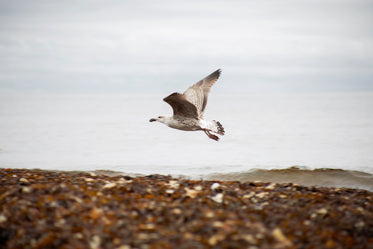 low flying gull