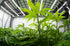 Browse Free HD Images of Low Shot Underside Of Cannabis Plant And Grow Lights