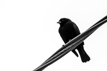 low view of a black bird close up in monochrome